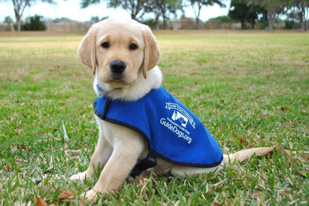 Name a guide dog puppy | neighbourly.